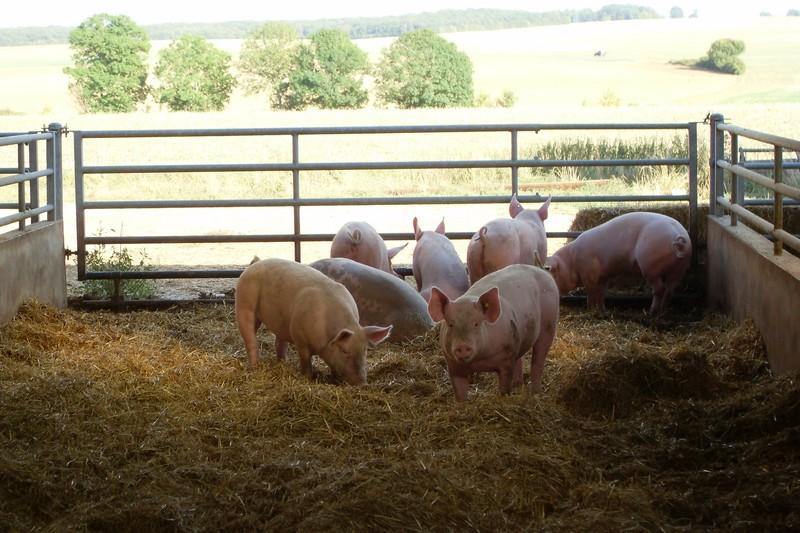Cochons en groupe