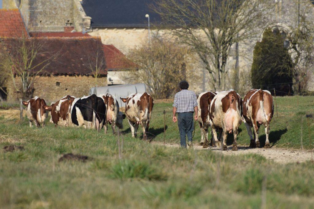 Le vacher et troupeau de vache