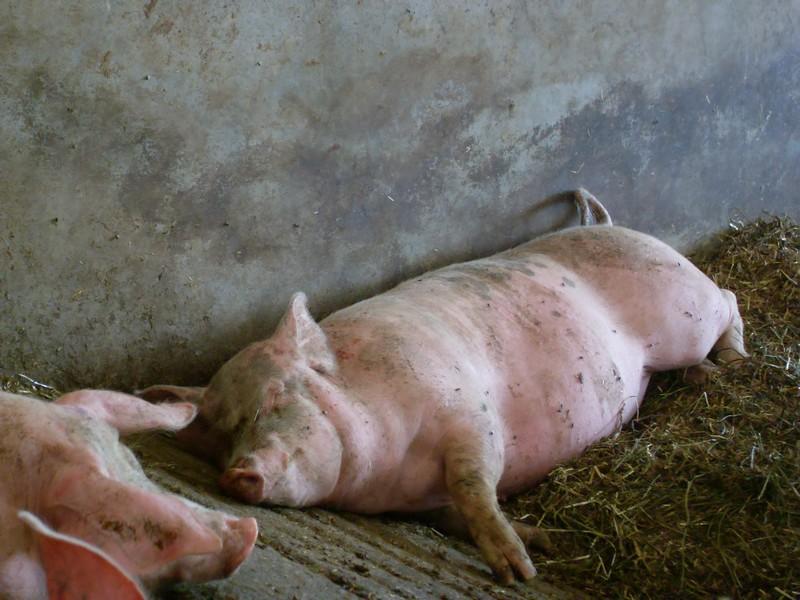Cochon qui dort paisiblement