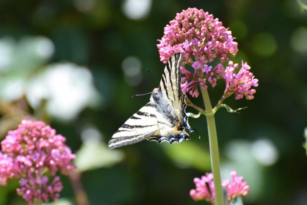 Un papillon sur la ferme Bio Thorey
